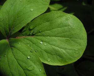 Strauch Pfingstrose Blatt gruen Paeonia suffruticosa 01