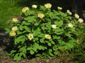 Strauch Pfingstrose Bluete gelb Paeonia suffruticosa 01