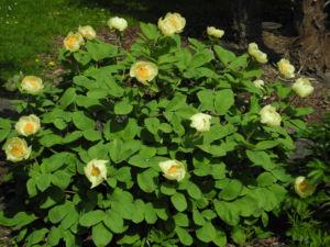 Strauch Pfingstrose Bluete gelb Paeonia suffruticosa 02