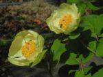Strauch Pfingstrose Bluete gelb Paeonia suffruticosa 04