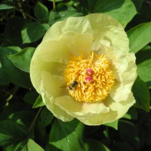Strauch Pfingstrose Bluete gelb Paeonia suffruticosa 10