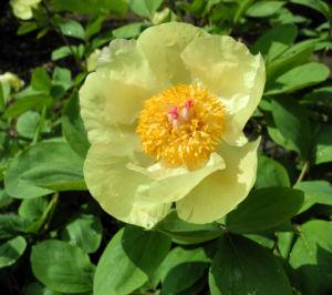 Strauch Pfingstrose Bluete gelb Paeonia suffruticosa 11