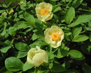 Strauch Pfingstrose Bluete gelb Paeonia suffruticosa 12
