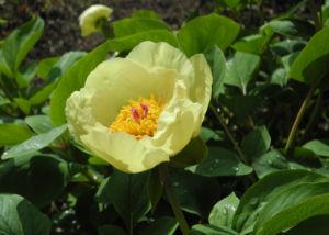 Strauch Pfingstrose Bluete gelb Paeonia suffruticosa 14