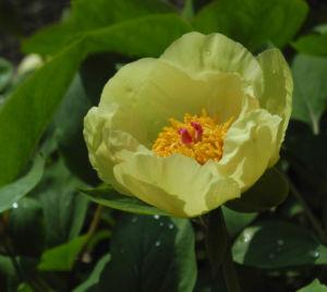 Strauch Pfingstrose Bluete gelb Paeonia suffruticosa 15