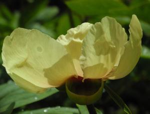 Strauch Pfingstrose Bluete gelb Paeonia suffruticosa 17