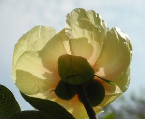 Strauch Pfingstrose Bluete gelb Paeonia suffruticosa 18