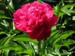 Strauch Pfingstrose Bluete pink Paeonia suffruticosa 01
