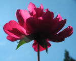 Strauch Pfingstrose Bluete pink Paeonia suffruticosa 14