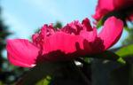 Strauch Pfingstrose Bluete pink Paeonia suffruticosa 16