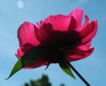 Strauch Pfingstrose Bluete pink Paeonia suffruticosa 17