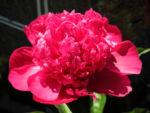 Bild:  Strauch-Pfingstrose Blüte pink Paeonia suffruticosa