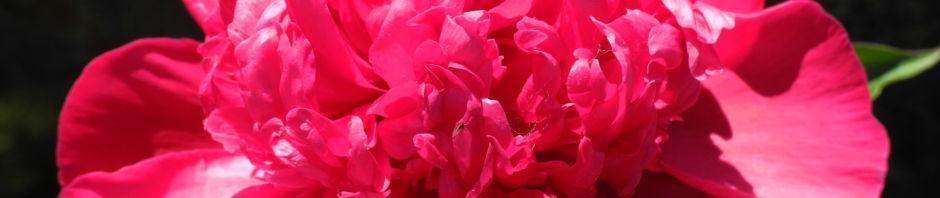strauch-pfingstrose-bluete-pink-paeonia-suffruticosa