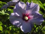 Straucheibisch Bluete lila Hibiscus syriacus 05