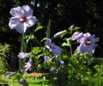 Bild:  Straucheibisch Blüte lila Hibiscus syriacus