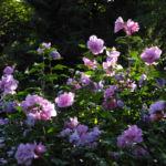 Straucheibisch Bluete rose Hibiscus syriacus 02