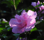 Straucheibisch Bluete rose Hibiscus syriacus 04