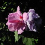 Straucheibisch Bluete rose Hibiscus syriacus 05