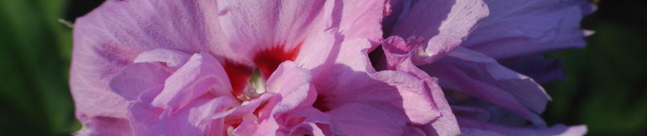 straucheibisch-bluete-rose-hibiscus-syriacus