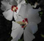 Straucheibisch Bluete weiss Hibiscus syriacus 04