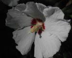 Straucheibisch Bluete weiss Hibiscus syriacus 05