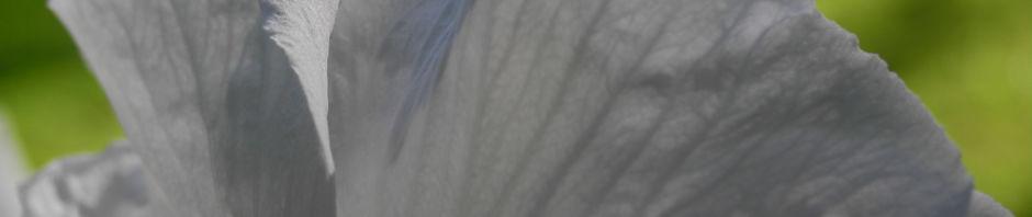 straucheibisch-bluete-weiss-hibiscus-syriacus