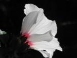 Straucheibisch Bluete weiss Hibiscus syriacus 12