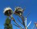 Zurück zum kompletten Bilderset Strohblumen-Eberwurz Blüte gelb Carlina xeranthemoides