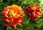 Studentenblume Bluete dunkel orange Tagetes 02