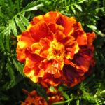 Studentenblume Bluete dunkel orange Tagetes 03