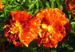 Studentenblume Bluete dunkel orange Tagetes 04