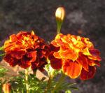 Studentenblume Bluete dunkel orange Tagetes 05