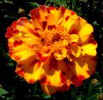 Studentenblume Bluete orange rot Tagetes 01