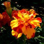 Studentenblume Bluete orange rot Tagetes 02