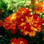 Studentenblume Bluete orange rot Tagetes 03