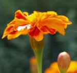 Studentenblume Bluete rot orange Tagetes patula 02