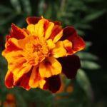 Studentenblume Bluete rot orange Tagetes patula 04