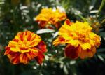 Studentenblume Bluete rot orange Tagetes patula 05