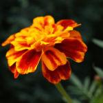Studentenblume Bluete rot orange Tagetes patula 06