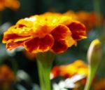 Studentenblume Bluete rot orange Tagetes patula 07