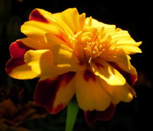 Studentenblume Sammetblume Bluete gelbrot Tagetes erecta 06