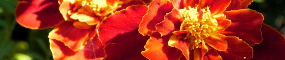 aufrechte-studentenblume-sammetblumen-bluete-gelbrot-tagetes-erecta