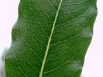 Suesser Pittosporum Blatt gruen Pittosporum undulatum 10