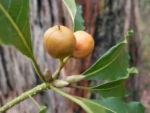 Suesser Pittosporum Frucht braun gelblich Pittosporum undulatum 03