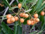 Suesser Pittosporum Frucht braun gelblich Pittosporum undulatum 04