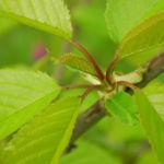 Suesskirsche selbstfruchtend Blatt gruen Prunus Lapins 21