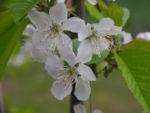 Suesskirsche selbstfruchtend Bluete weiss Prunus Lapins 21