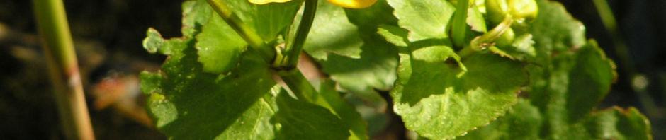 sumpfdotterblume-bluete-gelb-caltha-palustris