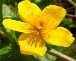 Sumpf Dotterblume Bluete gelb Caltha pulustris 05