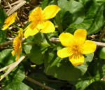 Sumpf Dotterblume Bluete gelb Caltha pulustris 06